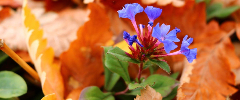 """Hauptbild meines Artikels """"Im Farbrausch"""". Das Bild zeigt eine violette Blume im Herbst."""